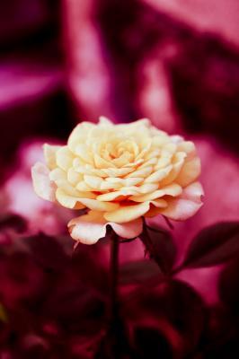 La conspiración de las rosas